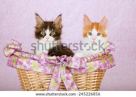 Maine Coon kittens sitting inside lavender lilac light pink decorated basket on light pink background