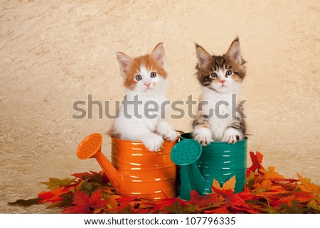 Maine Coon kittens sitting inside orange and green watering cans with leaves on beige background