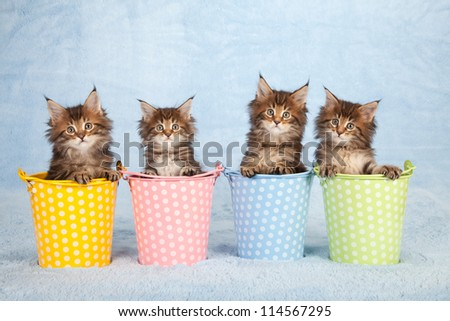Maine Coon kittens sitting inside polka dot pastel pails buckets on blue background