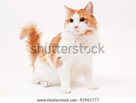 Maine Coon mix cat on white background