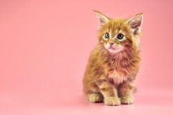 Maine coon red kitten, copy space. Cute shorthair purebred cat on pink background. Ginger hair attractive kitty from new litter.