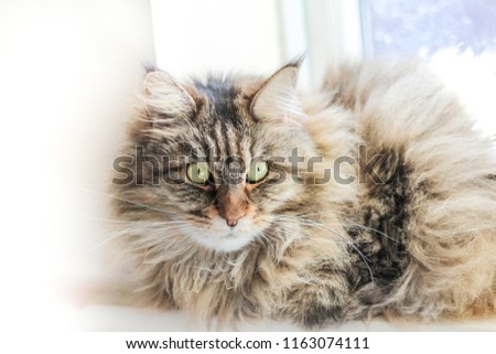 Maine Coon. The largest cat. A big cat. Portrait of domestic Maine Coon kitten lying next to the window in the summer. #1163074111