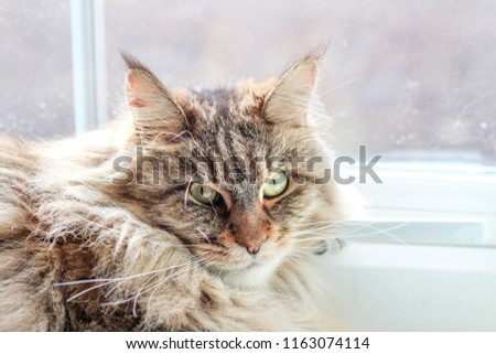 Maine Coon. The largest cat. A big cat. Portrait of domestic Maine Coon kitten lying next to the window in the summer. #1163074114