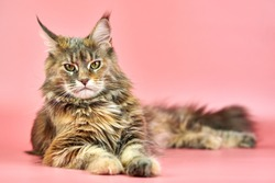 Maine Coon tortoiseshell cat, copy space. Adult female maine coon purebred cat on pink background. Tortie shorthair cat with funny look.