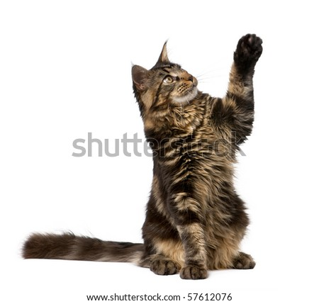 Maine Coon with paw in air, 7 months old, in front of white background