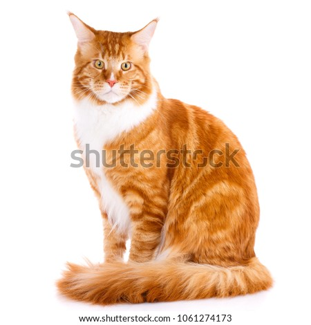 mainecoon thoroughbred cat on a ...