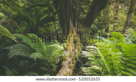Maits Rest Rainforest Walk at the Great Ocean Road, Victoria in Australia #520052635