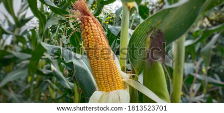 Photo of  Maize also known as corn is cereal grain, cultivated in India .Maize is used for corn ethanol, animal feed and other maize products, such as corn starch and corn syrup.Also used as food for animal.