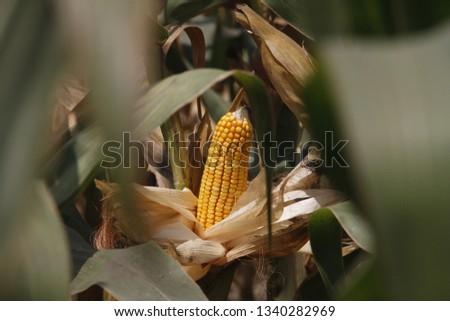 Maize Field Background  #1340282969