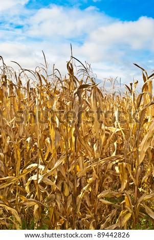 Maize field close up