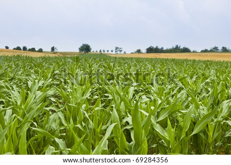 Maize field in summer