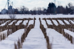 Maize field pictured in January in central Quebec.
