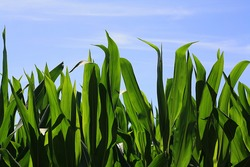 maize leaves shine in the sun