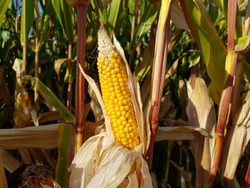Maize (Zea mays) also known in some countries as corn, is a starch.
