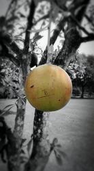 Maja fruit in Prambanan temple park