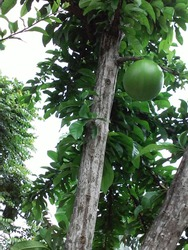 Maja Fruit is historic fruit, related to the forming of the biggest Kingdom in Indonesia, Majapahit.