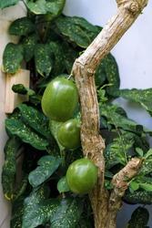 Maja (Indian bael) fruit hanging from the main stem.