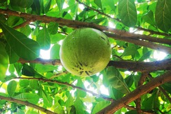 Maja or Aegle marmelos is a tree-shaped plant that is resistant to harsh environments but easily decays and comes from tropical and subtropical Asia. This plant is usually cultivated in the yard witho