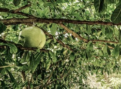 Maja or mojo tree is a historic and legendary tree.It became the name of an ancient kingdom in Indonesia, namely Mojopahit or Majapahit.