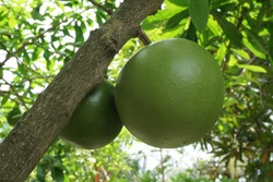 maja plant or Aegle marmelos. is a tree-shaped plant that is resistant to harsh environments but decays easily and comes from tropical and subtropical Asia. This plant is usually cultivated in the yar