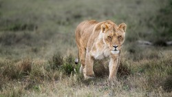 Majestic African lioness Queen of the jungle - Mighty wild animal of Africa in nature