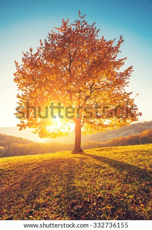 Stock Photo Majestic alone birch tree on a hill slope with sunny beams at mountain valley. Dramatic colorful morning scene. Red and yellow autumn leaves. Carpathians, Ukraine, Europe. Beauty world.