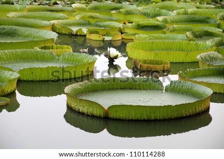 Majestic amazon lily pads in tropical Asia (Victoria Regia)