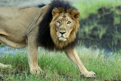 Majestic Asiatic Lion Portrait in green background. male lion in nature