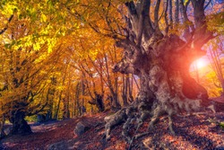 Majestic autumn trees glowing by sunlight. Red and yellow autumn leaves. Dramatic scene. Natural park. Carpathian, Ukraine, Europe. Beauty world. Retro style filter. Instagram toning effect.