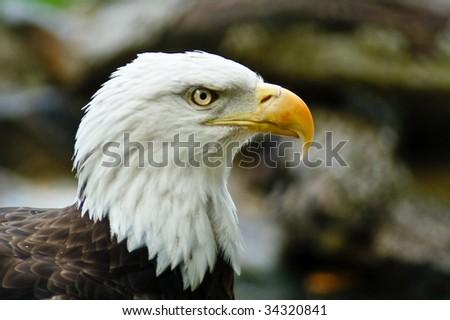 Majestic Bald Eagle Looks On