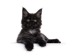 Majestic black smoke Maine Coon kitten, laying down facing front. Looking at camera with shiney brown golden eyes. Isolated on white background. Paws hanging over edge.