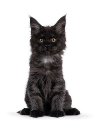 Majestic black smoke Maine Coon kitten, sitting up facing front. Looking at camera with shiney brown golden eyes. Isolated on white background.