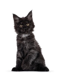 Majestic black smoke Maine Coon kitten, sitting up facing front. Looking beside camera with shiney brown golden eyes. Isolated on white background.