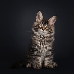 Majestic black tabby Maine Coon sitting facing front. Looking at camera with dark yellow eyes. Isolated on black background.