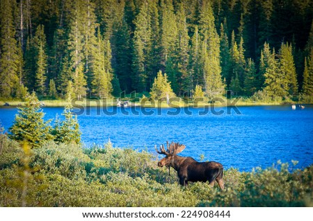 Majestic Bull Moose surveys the lakeside early Colorado morning
