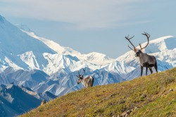 Majestic caribou bull in front of the mount Denali, ( mount Mckinley), Alaskal