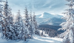 Majestic Carpathian Mountains in winter. Wonderful Wintry Landscape. Awesome alpine Highland at Sunny day. Amazing view on snowcovered mountains and white spruces under Sunlight sparkling in the snow
