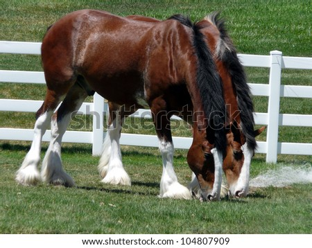 Majestic Clydesdales munching together on some field grass