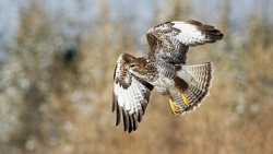 Majestic common buzzard, buteo buteo, flying in the air in snowy habitat. Dominant bird chasing its prey in the forest. Beautiful brown animal with spread wings hunting on the snowy meadow.