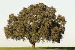 Majestic cork tree alone in the Alentejo landscape, Portugal