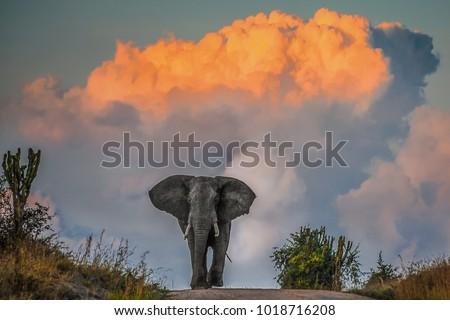 Majestic elephant in musth at sunset, Mweya Peninsula, Queen Elizabeth National Park, Uganda