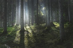 Majestic evergreen forest at sunrise. Mighty pine trees, moss, green plants. Morning fog, pure sunlight, sunbeams. Dark atmospheric landscape. Nature, seasons, summer. Fairytale, fantasy concepts