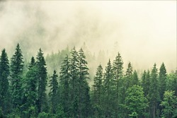 Majestic green mountain forest on fog background
