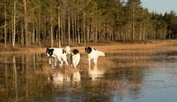 Majestic group of giant Landseers having fun in the swamp. Bog lake is frozen and covered with thick ice where big white and black dogs can glide in golden sundown light.