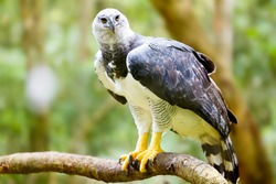 Majestic Harpy Eagle in the rainforest in Brazil. Green bokek in the background.