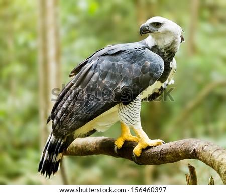 Majestic Harpy Eagle in the rainforest in Brazil. Green bokek in the background.