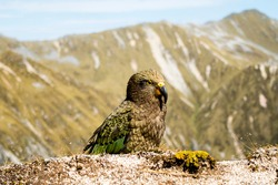 Majestic Kea parrot (only alpine parrot in the world) in New Zealand mountains (Kepler Track, New Zealand); blurred background