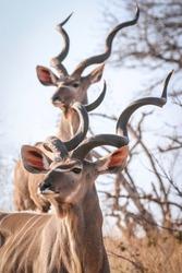 Majestic Kudu Bulls in Kruger National Park
