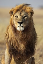 Majestic lion male with golden mane, Serengeti, Tanzania
