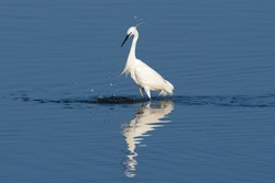 Majestic little egret. White heron splashing water while fishing during winter on Fão, Portugal. The photo was taken on the natural parque of the north coast.